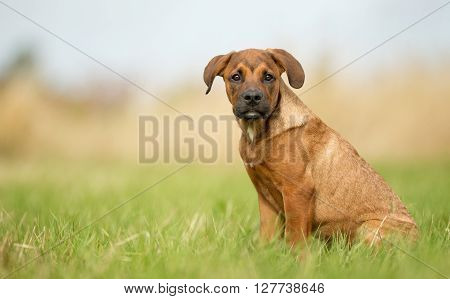 Young Brown Purebred Puppy