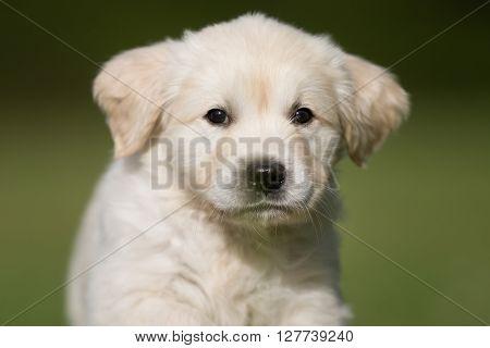 Face Of Young Golden Retriever Puppy