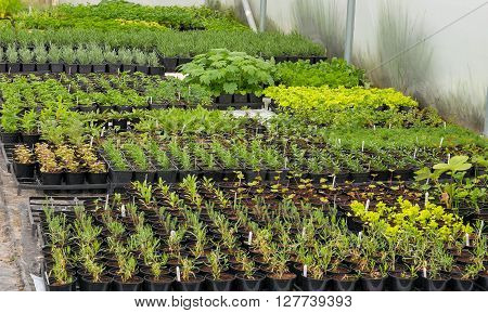 Polytunnel grown plants in pots ready for planting out
