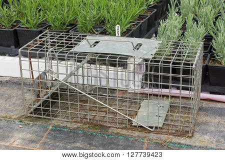 Steel humane rat trap set up in a garden nursery