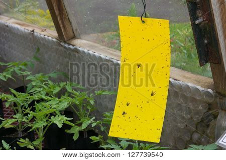 Yellow sticky fly trap hanging inside a greenhouse