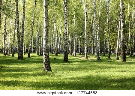 Spring birch trees in forest, beautiful birch grove, birch-wood, green landscape