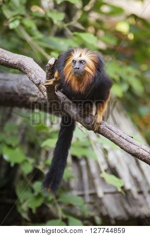 A golden-headed lion Tamarin on the tree