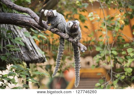 Close up Two Common Marmoset on the tree