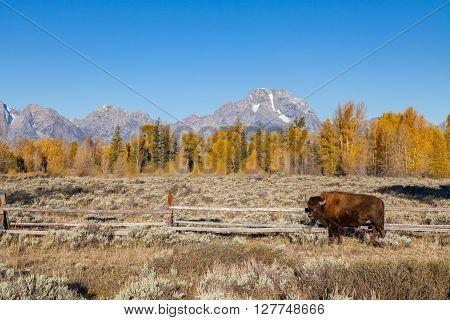 bison in teton national park wyoming in fall