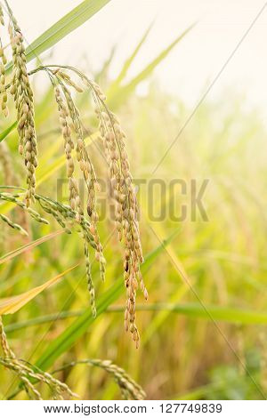 Close up of paddy rice seed in rice field