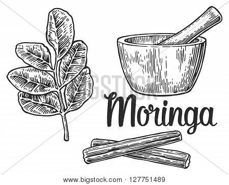 Moringa leaves and pod. Mortar and pestle. Vector vintage engraved illustration