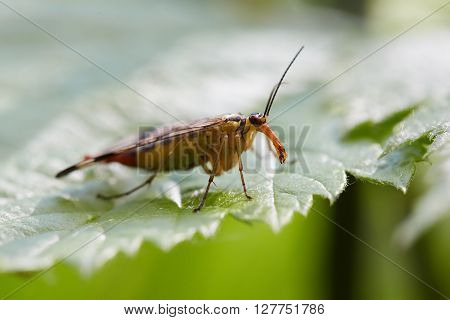 Female of panorpa communis on green leaves. ** Note: Shallow depth of field