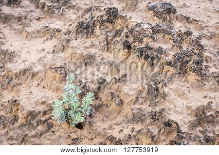 sage brush plant germinating from a fragile desert  cryptobiotic  soil crust