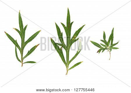 Pressed and dried green leaves of grass isolated on white background.