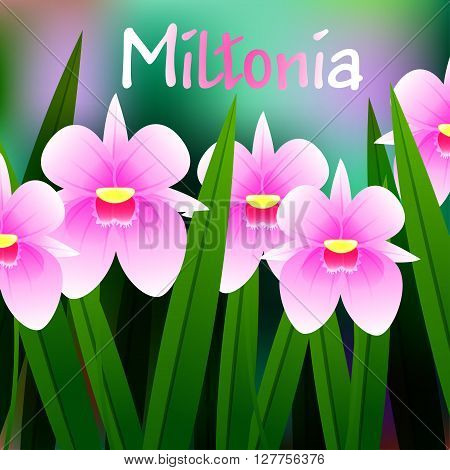 Beautiful Flower, Illustration Of Orchid Miltonia With Green Leaves. Vector