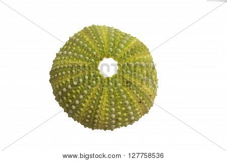 Shell of sea urchin isolated on white background