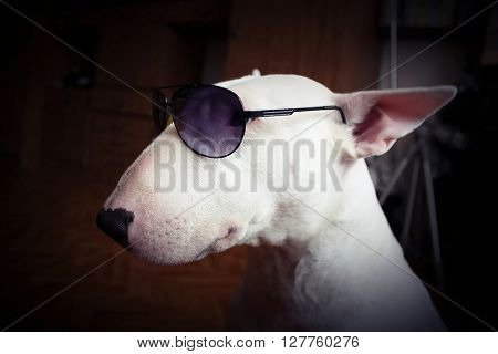 White English bull Terrier - in sunglasses