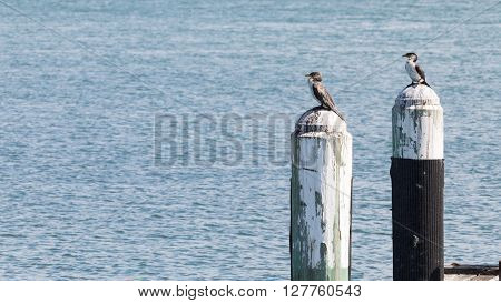 Two beautiful small smart wild colorful cormorants sitting on wooden poles in the sea at night Australia