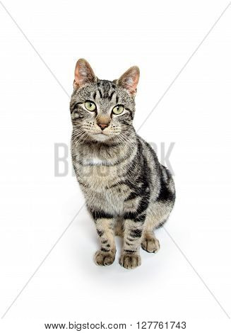 Cute Tabby On White