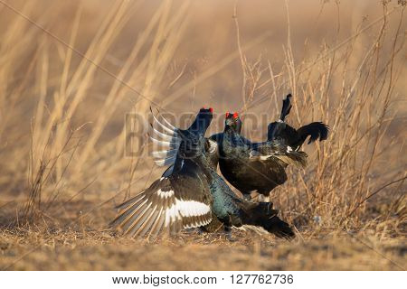 Black Grouse Fight Back in the wild nature