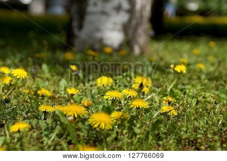 City Dandelions on a lawn in the central park