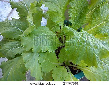 beautiful green leaves of edible mustard plant