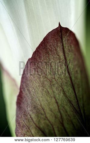 Macro shot of a Morning Glory leaf