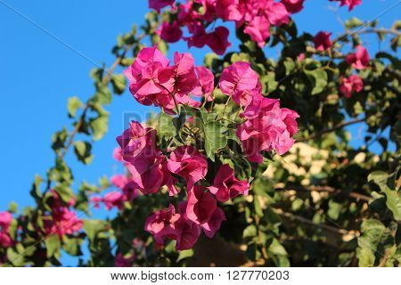 Beautiful flowers on the island of Rhodes, Greece