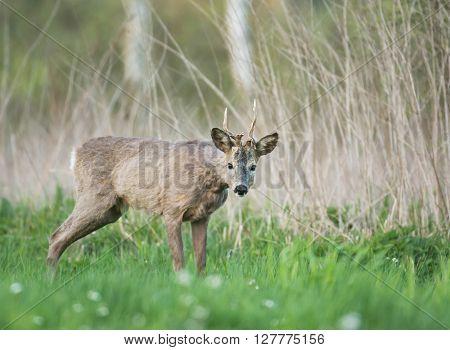 roe deer (Capreolus capreolus) in natural habitat