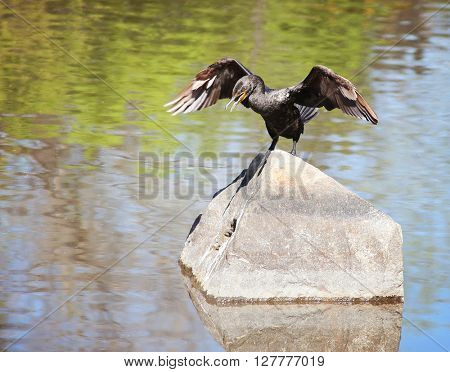 (SHALLOW DOF) a cormorant with its wings out in a wildlife park with a large pond