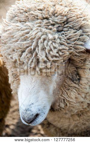 Close Up shot of a hairy sheep
