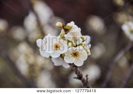 Blossoming Japanese white plum flowers, Osaka Prefecture