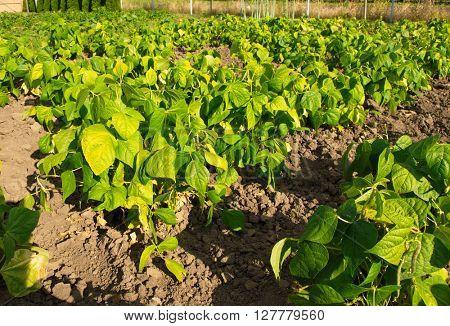 beautiful green Bean Field