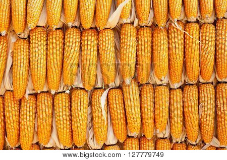 A row of fresh corn hanging on a wall