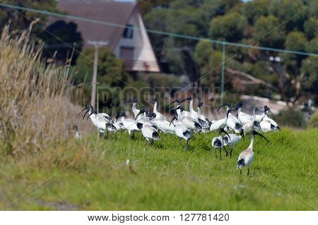 Australian white ibis are walking on the countryside