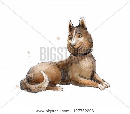 Husky or Siberian Laika watercolor. Watercolor sketch of Husky. Hand drawn Laika. Illustration of lie brown dog isolated on white.