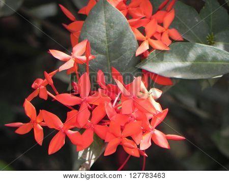 Asoka red flowers taken pictures of East Kalimantan