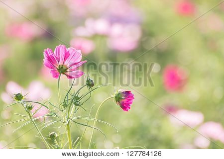 Cosmos Flower In Field