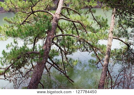 Da Lat, Viet Nam Circa March, 2016 - The pines lean on the river