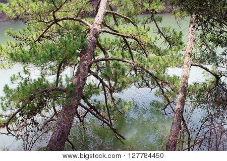 Da Lat, Viet Nam Circa March, 2016 - The pines lean on the river
