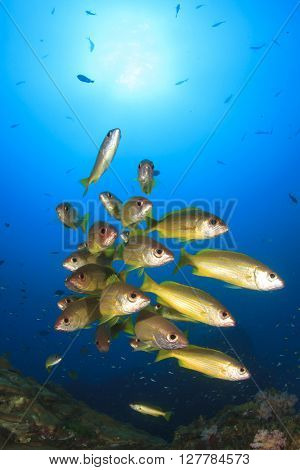School of yellow Snappers fish on coral reef in ocean