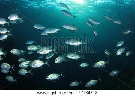 School Bigeye Trevally fish in ocean