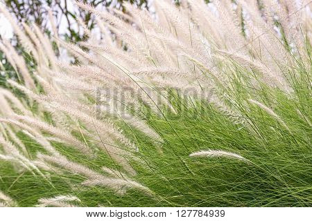 Imperata Cylindrica Beauv Of Feather Grass