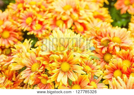 Orange Chrysanthemum Flowers In Garden