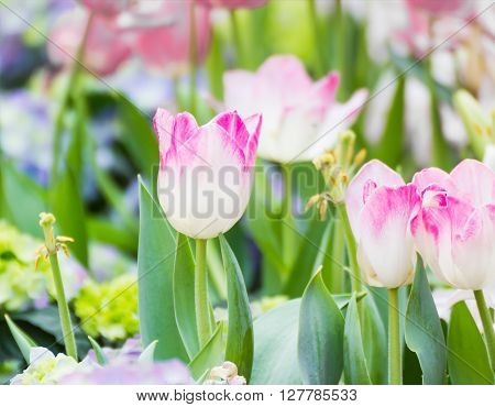 Pink Tulip Flower In Garden