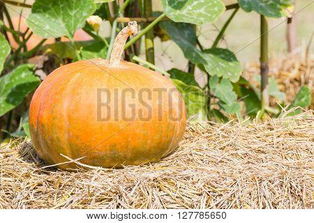 Pumpkin Farm Production In Rural Area