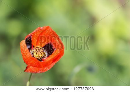 closeup of a blossoming red poppy with raindrops after rain on green background
