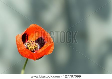 closeup of a blossoming red poppy with raindrops after rain on gray background