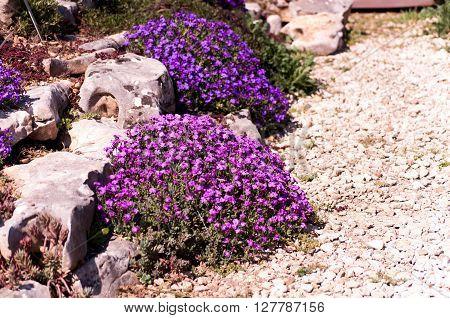Purple blooming aubrieta in a rock garden