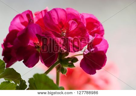 Red geraniums in the beautiful garden, filmed in close-up