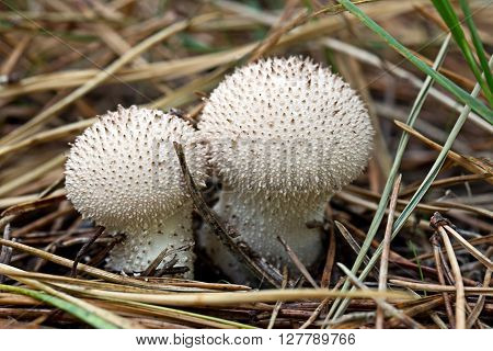 Fuzz-ball - poisonous mushrooms in the forest
