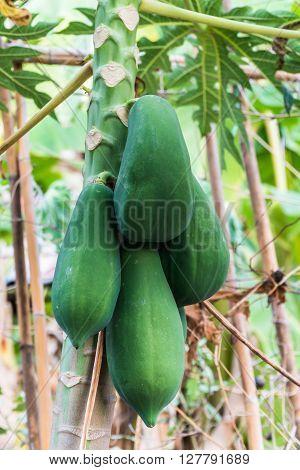 green raw bunch of papaya on papaya tree