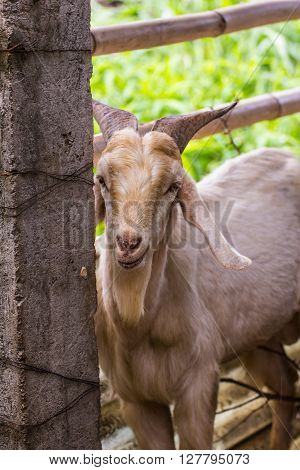 goat in farm , mammal , animal