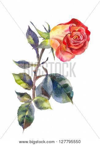Rose watercolor with slanted bud. One watercolor rose isolated on white.